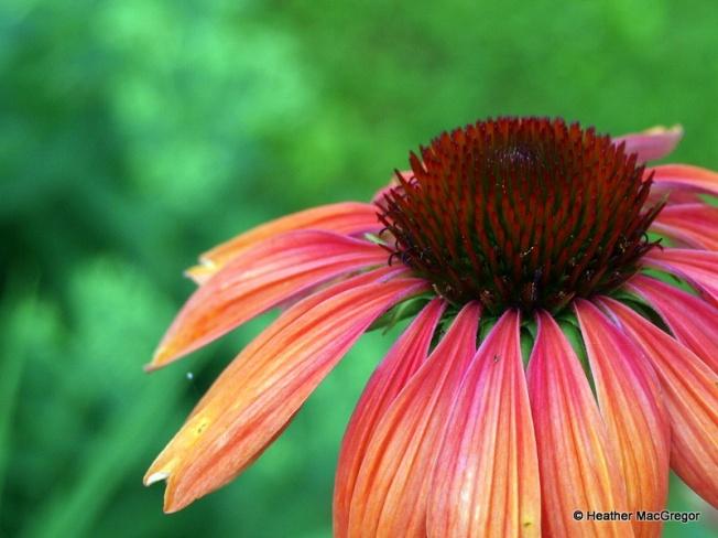 Echinacea~ Summer Sky